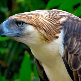 Philippine Eagle by Joziel Masaga - Animals Birds (  )