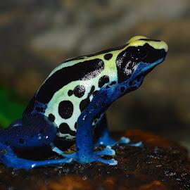 Frog by Joe Peloquin - Animals Amphibians