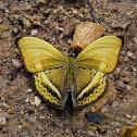 Yellow Glider (male)