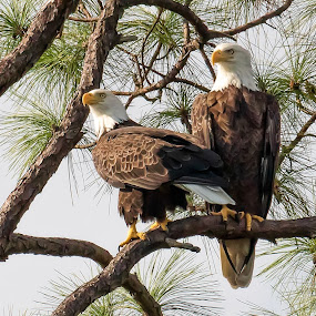 Mating pair of Bald Eagles by Shutter Bay Photography - Animals Birds ( bird of prey, nature, american, bald eagle, eagles, birds )