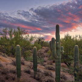 Arcing Red by Charlie Alolkoy - Landscapes Deserts ( sunset, arizona, tucson, sunrise, landscape, sonoran, cactus )