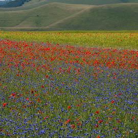 Castelluccio 5 by Bruno Brunetti - Landscapes Prairies, Meadows & Fields ( colors, flowers, italy, castelluccio, fields,  )