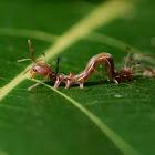 Ant-mimic caterpillar