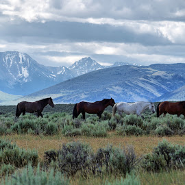 Challis Herd by Dave Bower - Animals Horses