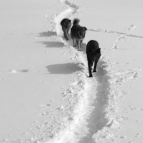 My way by Jelena Seničić Vilimanović - Animals - Dogs Running ( snow, three, white, dog, group, walk, black, go )