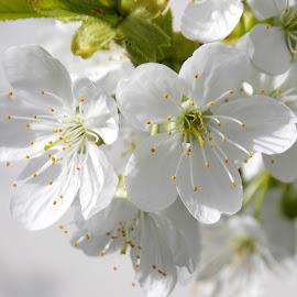 by OL JA - Flowers Tree Blossoms
