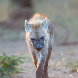 Hyena  by Greg Varney - Animals Other ( path, shadow, hyena, light, south africa, kruger np, walk,  )