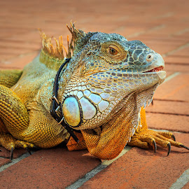 Exchange student at Berkeley by Lee Jorgensen - Animals Reptiles ( creepy, lizard, colorful, reptile, animal )