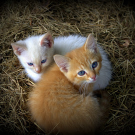 Brothers by Jackie Smith - Animals - Cats Kittens