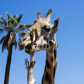 Giraffe by Mi Mundo - Animals Other Mammals ( giraffe )