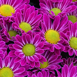 Pink and Yellow by Judy Florio - Flowers Flower Gardens (  )