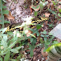 Giant Swallowtail Butterfly ( No. 2 )