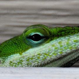 Anole Lizard by Linda Brooks - Animals Reptiles