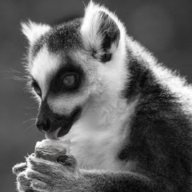 Ringtailed lumur by Claudia Lothering - Black & White Animals (  )