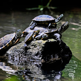Family by Cristobal Garciaferro Rubio - Animals Reptiles ( water, dad, reflection, family, turtles, mom )