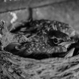 Momma Bird by Laura Gardner - Novices Only Wildlife ( babies, nd, wings, nest, hatched, birds )