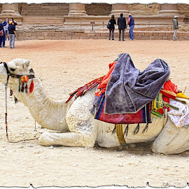 Petra by Francesca Riggio - Animals Other ( camel, jordan, monument, animal, petra )
