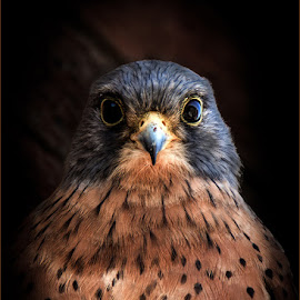 Rock Kestrel by Herman Olivier - Animals Birds ( bird, portraiture, animals, nature, birds, portrait, animal,  )