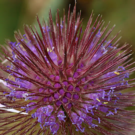 Teasel Top by Chrissie Barrow - Abstract Macro ( macro, spikes, pattern, buds, flowers, teasel, closeup )