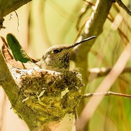 Colibri En El Nido by Eduardo Lepiz - Nature Up Close Hives & Nests ( salvaje, aves, colibri, supertelefoto, supertelephoto, nido, naturaleza )