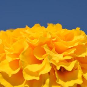 Marygold flower closeup macro by Basant Malviya - Flowers Single Flower ( macro, marygold, closeup, flower,  )