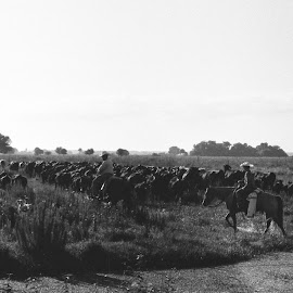 Cowboys by R Wolf - Black & White Street & Candid ( horseback, cowboys, herd, 35mm, landscape, cows )