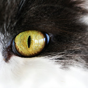 Cat Eye by Monica Lawlis - Animals - Cats Portraits