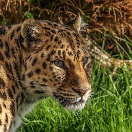 Leopard by Garry Chisholm - Animals Lions, Tigers & Big Cats ( big cat, garry chisholm, nature, wildlife, leopard )