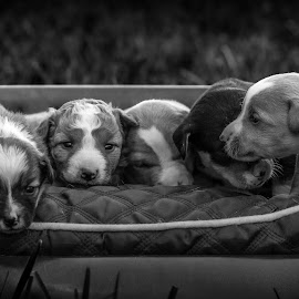 Brothers by Samuk Domingues - Animals - Dogs Puppies ( puppies, dogs, black and white, family, brothers )