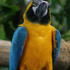 Macaw by Emma Justice - Animals Birds