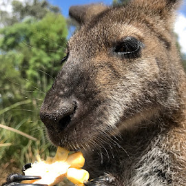 up close wallaby by Donna Racheal - Instagram & Mobile iPhone ( up close, animals, kangaroo, close encounter, wallaby, iphone )
