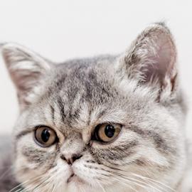 by Pedro Galvao - Animals - Cats Portraits