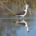 Black-winged Stilt (juvenile)