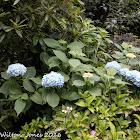 Blue bigleaf hydrangea