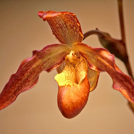 Orchid by Judy Laliberte - Novices Only Flowers & Plants ( orange, orchid, yellow, light, flower )