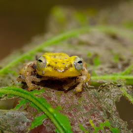 by Eko Probo D Warpani - Animals Amphibians ( colour, animals, macro, wild life, color, indonesia, nikkor, nikon, animal )