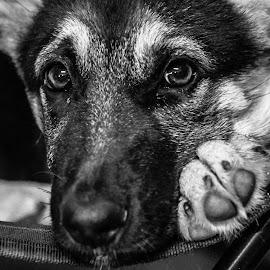 by Mariska Visagie - Animals - Dogs Puppies