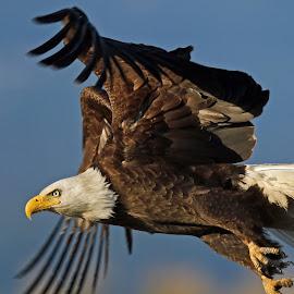 Eagle Flight by Anthony Goldman - Animals Birds ( bird, predator, wild wildlife, eagle, bald, nature homer.alaska )