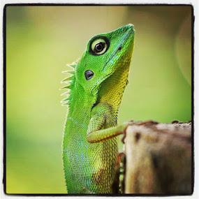 Lizard 5 by Danang Sujati - Instagram & Mobile Instagram ( all_shoot, animals, animal, statigram, sintang, danangsujati, D90, followstagram, fauna, green, photooftheday, padepokankalisurut, primate, nikon, reptile, instagram, instagnation, indonesia, ig_nesia, instanusantara, instaphoto, instagood )