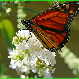 Nectar Collecting by Sandy Stevens Krassinger - Animals Insects & Spiders ( butterfly, patterns, monarch, insect, animal,  )