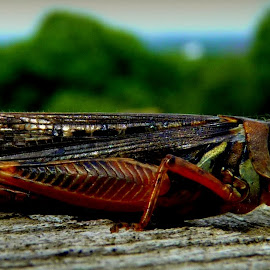 Up Close & Personal by Amanda Pietrangelo - Animals Insects & Spiders ( creepy, red, jumping, wood, bug )
