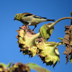 allen's meadows goldfinch5.JPG