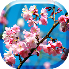 Japanese Sakura Flowers HD LW