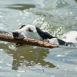 Fetching Stick by Keith Reling - Animals - Dogs Playing ( dog swimming, chateau de le hulpe, fetch, dog,  )