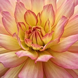 OLI dahlia 23 by Michael Moore - Flowers Single Flower