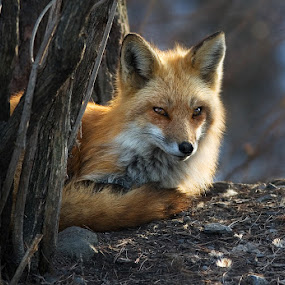Female Adult Red Fox by Rachel Bilodeau - Animals Other Mammals