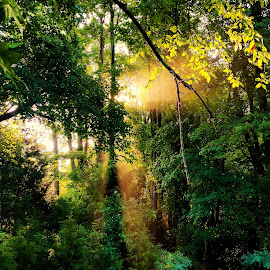 sun shining through trees by Peter Rippingale - Landscapes Forests