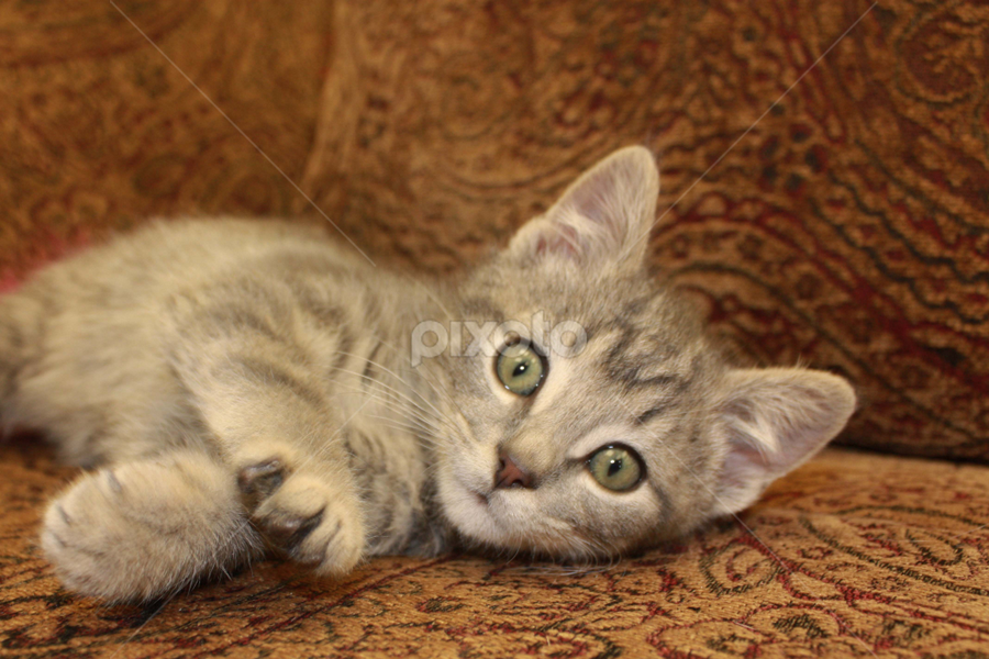 Rudy by Sharon Scholtes - Animals - Cats Kittens ( playing, cat, kitten, brown, grey, cute, feline, stripe )