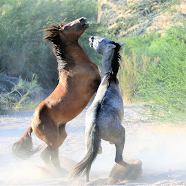 Sand Wash Brawl by Gary Odell - Animals Horses