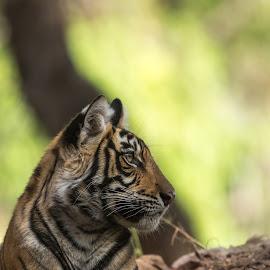 Tiger Cub by Ganesh Namasivayam - Animals Lions, Tigers & Big Cats ( tiger, striped animals, ranthambore tiger reserve, noor's cub, tigers )